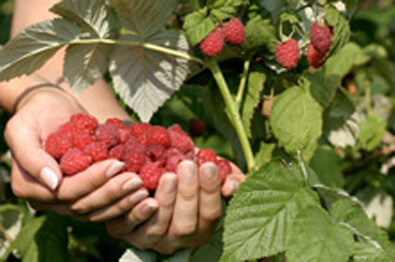 Heritage Raspberry Handful
